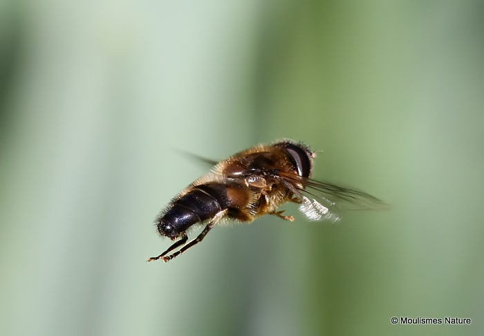 Eristalis pertinax (Tapered Dronefly)