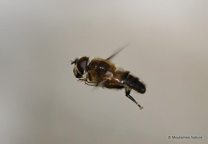 Eristalis pertinax (Tapered Dronefly)