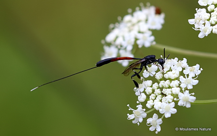 Parasitic wasp sp (Gasteruption jaculator) F