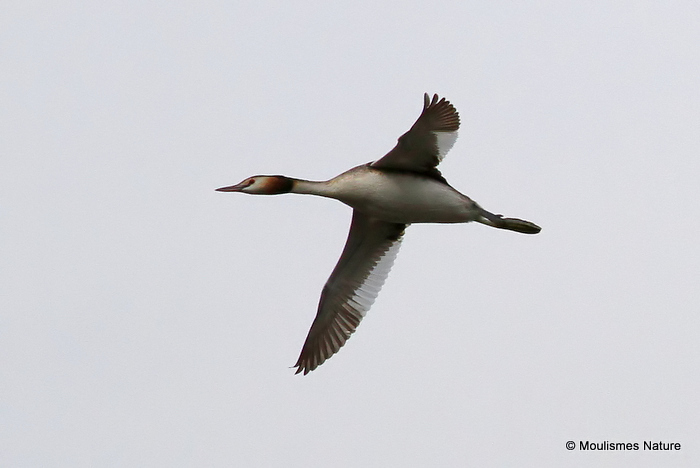 Great Crested Grebe (Podiceps cristatus) Ad-S
