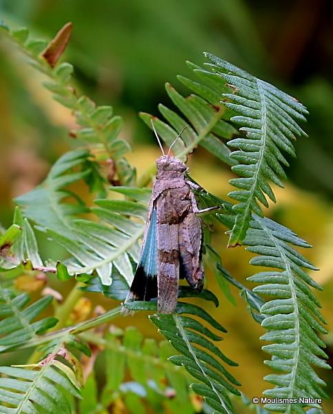 Blue-winged Grasshopper (Oedipoda Caerulescens caerulescens)