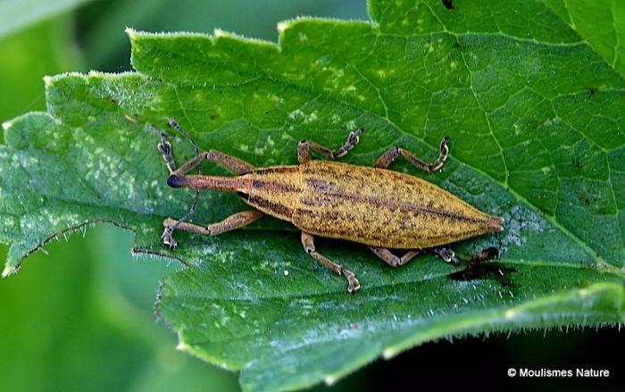 Weevil sp. Lixus paraplecticus