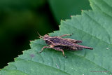 Slender Groundhopper (Tetrix subulata) M