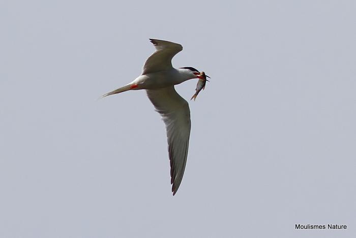 Common Tern (Sterna hirundo) Ad-S, Sterne pierregarin
