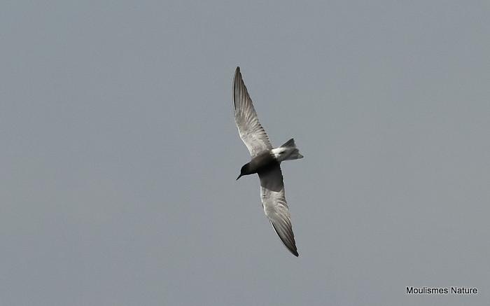 Black Tern (Chlidonias niger) Ad-S, Guifette noire