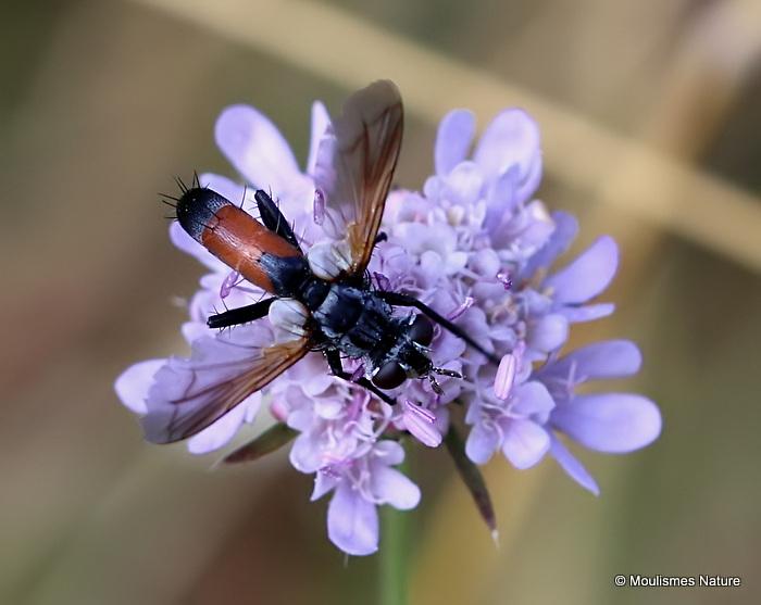 Tachinid fly sp, Cylindromyia sp.