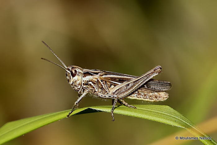 Common Field Grasshopper (Chorthippus brunneus brunneus) M