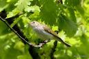 Bonelli's Warbler (Phylloscopus bonelli)