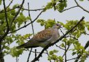 European Turtle Dove (Streptopelia turtur), Tourterelle des bois
