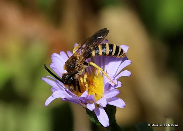 Great Banded Furrow Bee (Halictus scabiosae) M