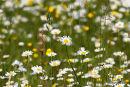 Leaucanthemum vulgare, Ox-eye Daisies