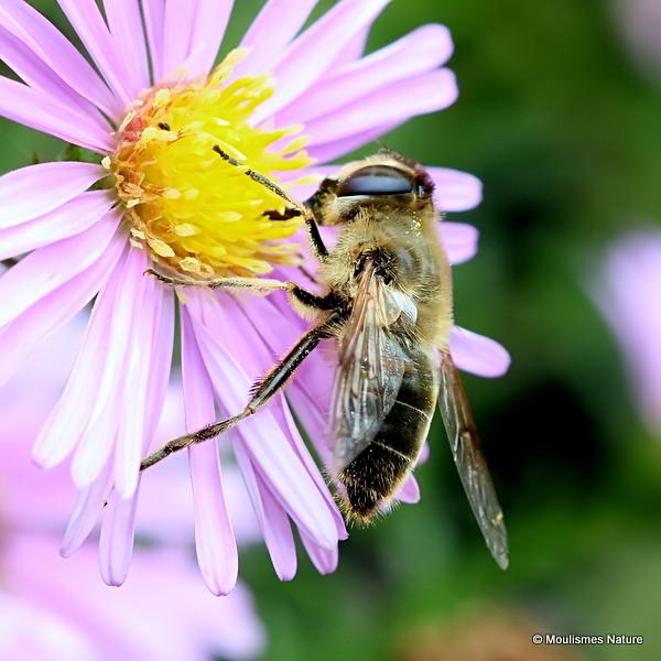 Eristalis tenax (Stripe-eyed Dronefly) F