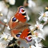 Peacock (Inachis io), Le Paon du jour