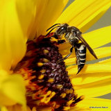 Sharp-tailed bee sp. (Coelioxys sp.) F