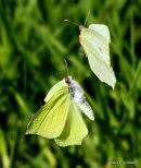 Brimstone (Gonepteryx rhamni) M, F