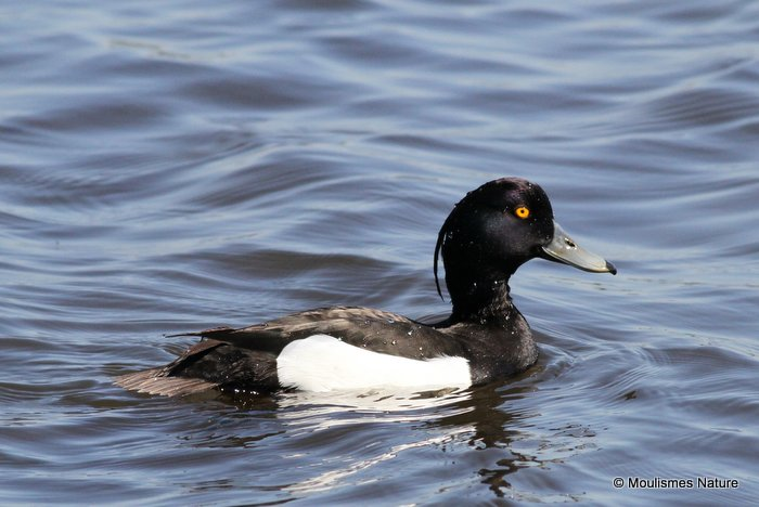 Tufted Duck (Aythya fuligula) M