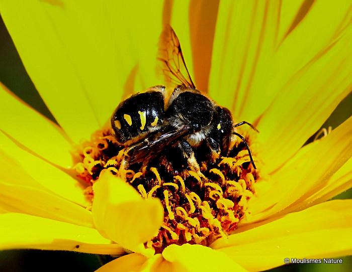 Wool carder bee sp. Anthidium septemspinosum