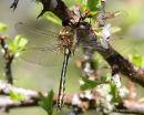 Downy Emerald (Cordulia aenea) M-imm