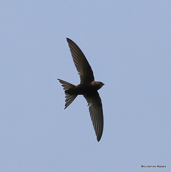 Common Swift (Apus apus) Ad, Martinet noir