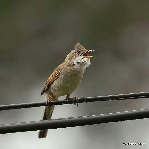 Common Whitethroat (Sylvia communis) M, Fauvette grisette