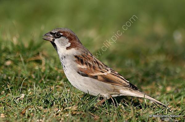 House Sparrow (Passer domesticus) M-W, Moineau domestique