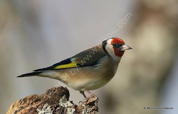 European Goldfinch (Carduelis carduelis), Chardonneret elegant