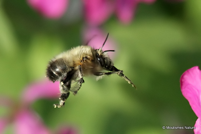 Hairy-footed Flower Bee (Anthophora plumipes) M