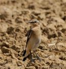 Northern Wheatear (Oenanthe oenanthe) F