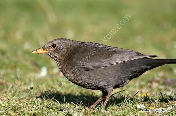 Common Blackbird (Turdus merula) M in moult