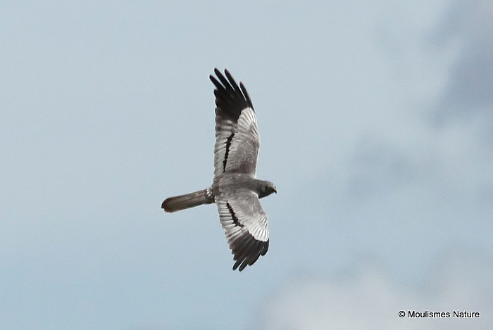 Montagu's Harrier (Circus pygargus) M, Busard cendre