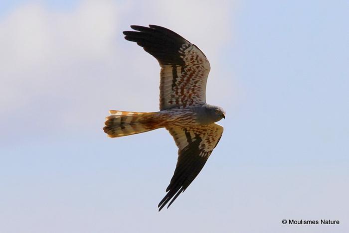 Montagu's Harrier (Circus pygargus) M