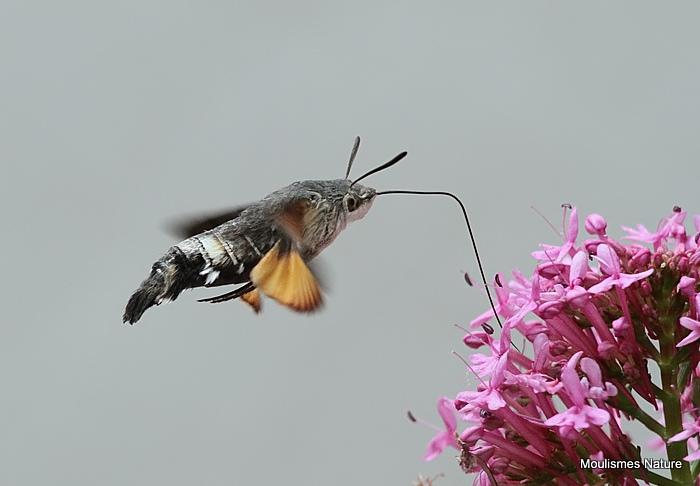Hummingbird Hawkmoth (Macroglossum stellatarum)