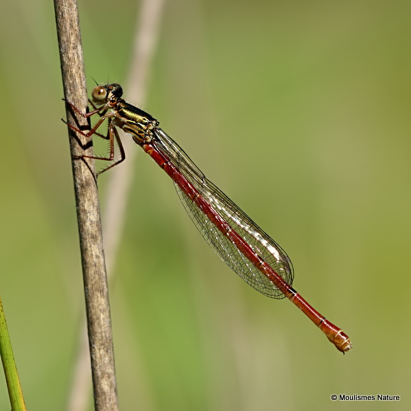 Small Red Damselfly (Ceriagrion tenellum) F-ten