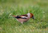 Hawfinch (Coccothraustes coccothraustes) M