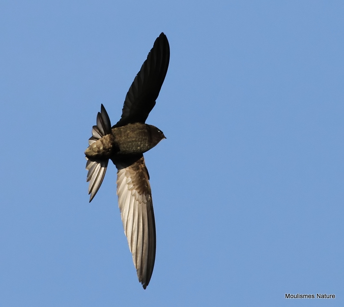 Common Swift (Apus apus) Ad