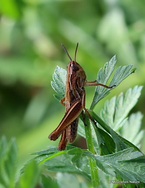 Rufous Grasshopper (Gomphocerippus rufus) nymph