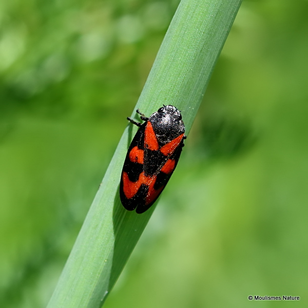 Black and Red Froghopper (Cercopis vulnerata)