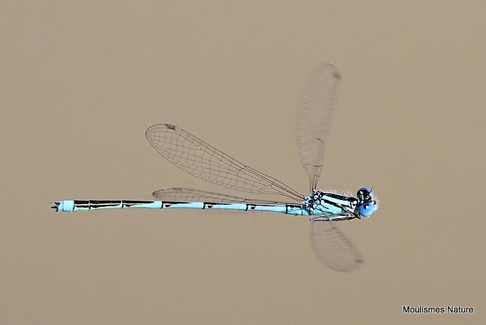 Goblet-marked Damselfly (Erythromma lindenii) M