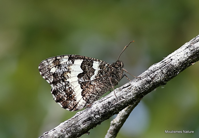 Great Banded Grayling (Brintesia circe)
