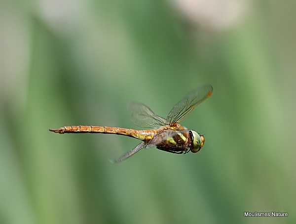Norfolk Hawker (Anaciaeshna isosceles) M