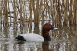 Common Pochard (Aythya ferina) M