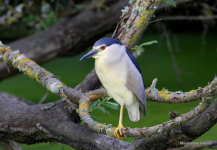 Black-crowned Night Heron (Nycticorax nycticorax) Ad
