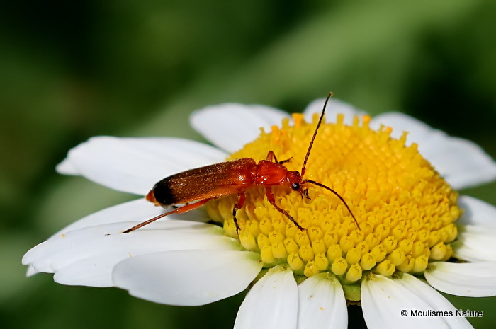 Common Red Soldier Beetle (Rhagonycha fulva)