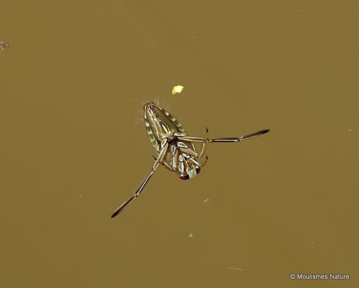 Water Boatman sp. (Corixidae sp.)