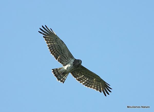 Short-toed Eagle (Circaetus gallicus) Ad, Circaete Jean-le-Blanc