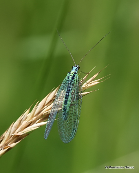 Green Lacewing (Chrysopa perla)