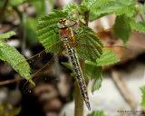 Hairy Dragonfly (Brachytron pratense) F