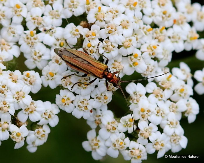 False Oil Beetle (Oedemera nobilis) F