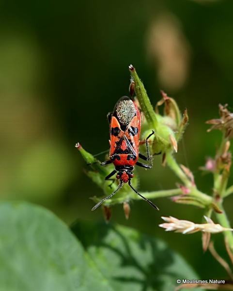 Black & Red Squash Bug (Corizus hyoscyami)