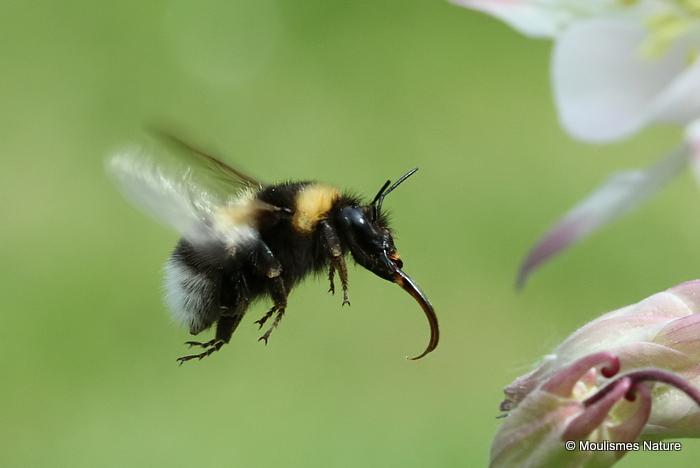 Large Garden Bumblebee (Bombus ruderatus)